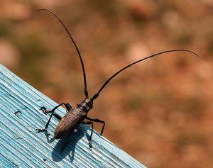 Mrena chrobáka. Charakteristika a životný štýl hmyzu s dlhými fúzmi
