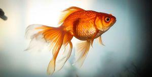 Золоті рибки-догляд