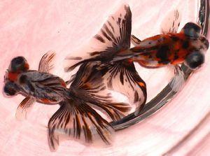 Рибки Метелик дзікін