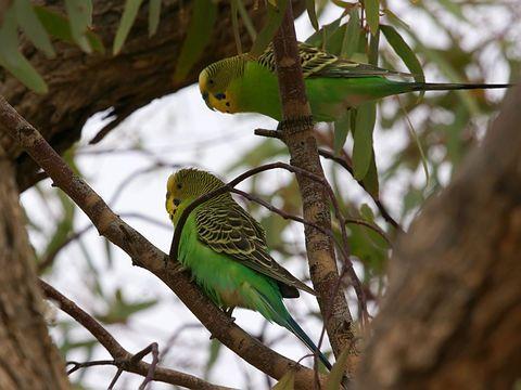 Папагалите често са отговорни за сериозни човешки заболявания